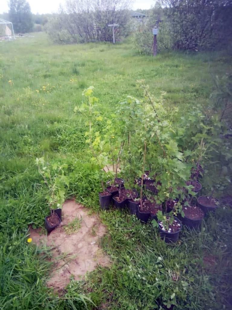 Саженцы деревьев в Зарытках