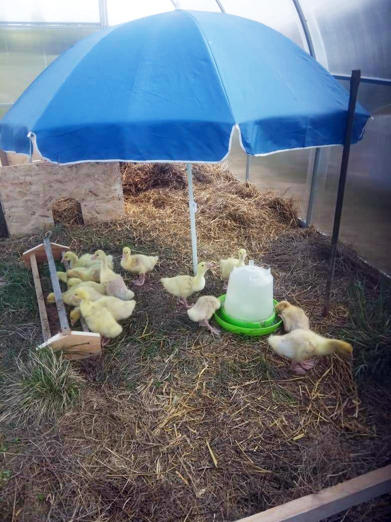 Молодняк домашней птицы в Зарытках
